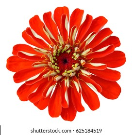 Zinnia red flower macrophoto isolated on white background