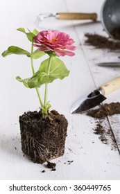 Zinnia seedling is ready for planting. Springtime, little pink flower, gardening concept.