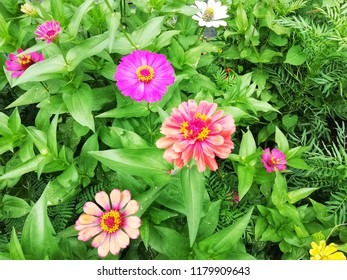 Zinnia violacea, (Zinnia violacea Cav.) Is a herbaceous plant, usually with rough hairs. Each pair is perpendicular, oval or oval, or slightly pointed. A bouquet at the apex. There are many Flo.