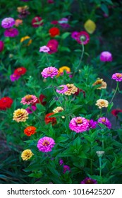 Zinnias in a garden bed in summer