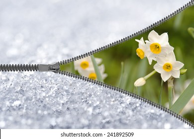 Zipper revealing narcissus under the snow