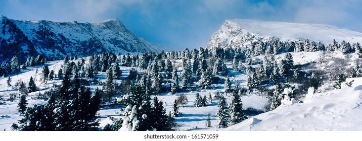 zirbe, swiss pine, pinus cembra, snow, wintry landscape, carinthia, austria