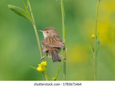 Zitting cisticola, fantail warbler or streaked fantail warbler, is a widely distributed Old World warbler whose breeding