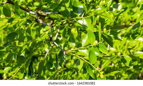 Ziziphus jujuba blossom and foliage background