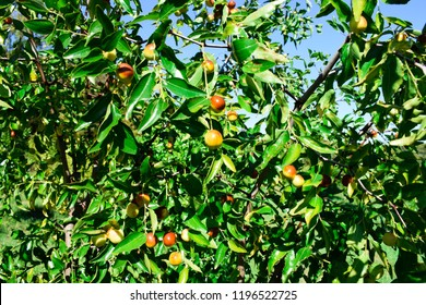 Ziziphus jujube. Exotic fruit. Chinese date. Fruits and leaves of jujube