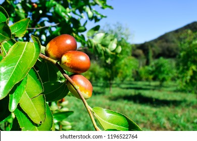 Ziziphus jujube. Exotic fruit. Chinese date. Fruits and leaves of jujube