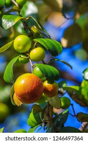 Ziziphus mauritiana (Bidara) is a shrub, evergreen shrub or small tree up to 15 m tall, with a diameter of 40 cm or more stems. In Islam it is practiced to drive jinn and demons.