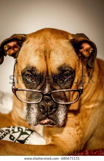 zoe-boxer-dog-reading-glasses-600w-68067