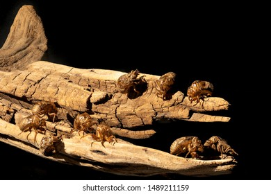 Zombie-like Cicada Exoskeletons appear to be swarming over and isolated piece of drift wood