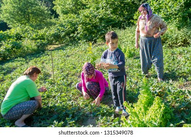 Ereğli, Zonguldak / Turkey - 06/24/2013:The villagers are picking strawberries from the garden.