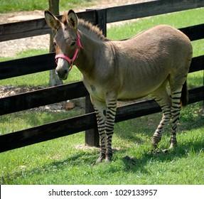 Zonkey part Zebra and Donkey at wildlife reserve