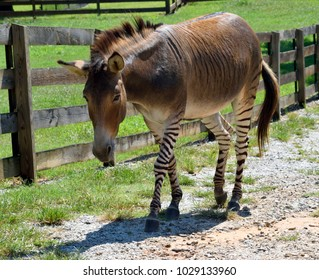 Zonkey part Zebra and Donkey at wildlife reserve