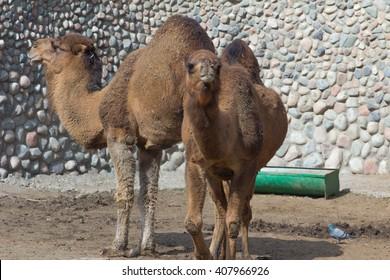 zoo animals, camel, Almaty, Kazakhstan. Couple of camels.