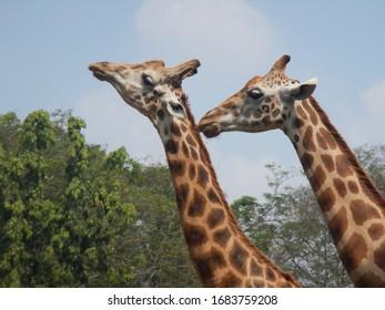 Zoo animals two giraffes enjoying togetherness