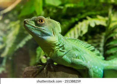 Zoo Green Iguana Reptile Portrait Close Up