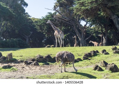 Zoo life: giraffes and an ostrich with the florest trees in the back.