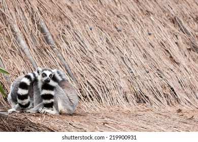 In the zoo lives a Ring-tailed lemur