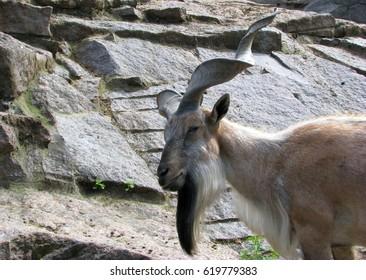 Zoo. Mountain goat
