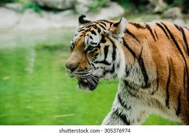 zoo safari animal tiger