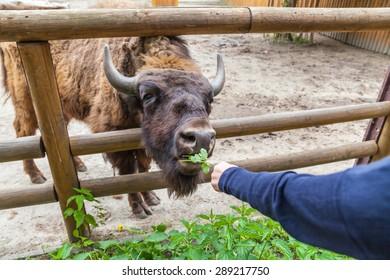 Zoo visitor feeds buffalo green, zoo, Kyiv, Ukraine