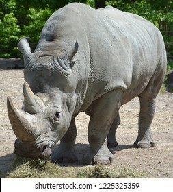 At zoo a white rhinoceros or square-lipped rhinoceros is the largest extant species of rhinoceros.