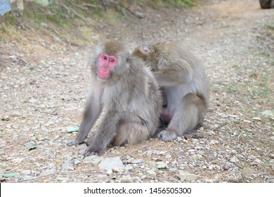 Zoological image of macaque rhesus showing animal monkey cleaning couple. The macaque rhesus is a monkey.