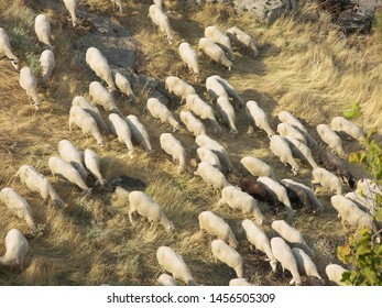 Zoological image of sheep flock showing mammal sheep pasture flock. The sheep flock is a country animal.