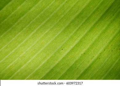 zoom in to banan leaf , banana leaf wallpaper