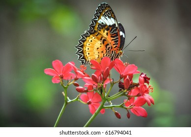 Zoom lenses, pretty butterfly on red flowers, Thailand.