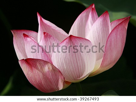 Zoom lotus flower pink white fine stock photo edit now 39267493 zoom of lotus flower in pink and white fine details in petals mightylinksfo