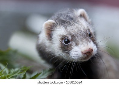 Zoomed ferret face with dirty nose looking somewere