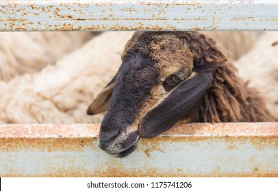 Zooming closeup facial portrait of a mature black or brownish sheep behind old iron fence with its herd