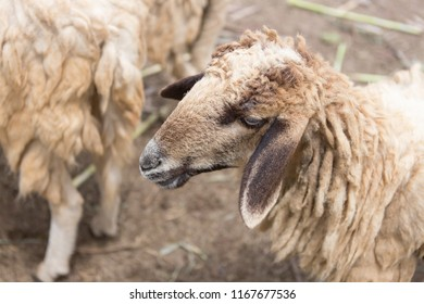 Zooming closeup facial view of a young adolescent brownish or whitish sheep finding for food in its herd