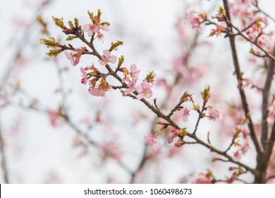 Zooming closeup view of sakura, one of most famous pink flowers in Japan in a Japanese garden in a spring environmental atmospheric season
