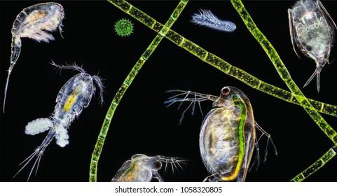 Zooplankton Images Stock Photos Vectors Shutterstock