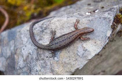 Zootoca vivipara (formerly Lacerta vivipara). Pregnant female viviparous lizard on the rock. Close up.