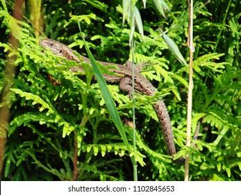 Zootoca vivipara lizard sunbathing on thuja foliage