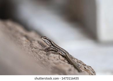 zootoca vivipara, viviparous lizard, common lizard