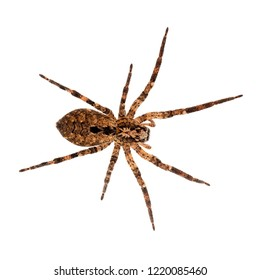 Zoropsis spinimana, False wolf spider. Large brown and hiary. Isolated on white.