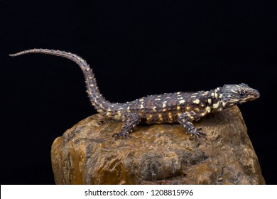 Zoutpansberg Girdled Lizard (Smaug warreni depressus)