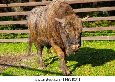 Zubron - hybrid of bison and cow, Poland