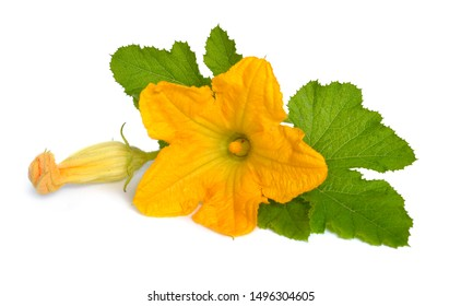 Zucchini or courgette flowers isolated on white background.