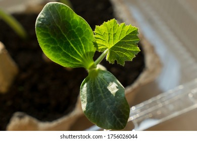 The zucchini or courgette nefertiti.  A very young zucchini plant grown by a home gardener in the city. Zucchini cotyledons. Seedlings and Young Cucurbita pepo sprout. Selective focus.