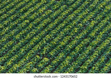 Zucchini. Field with crop of cultivated plants. Agriculture