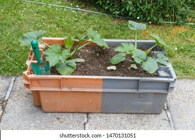 zucchini plant in a plastic box in a garden during spring