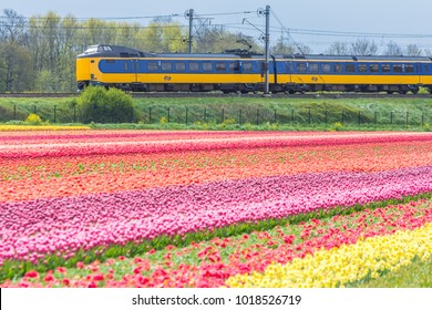 Zuid Holland, the Netherlands - 23 April 2017: Dutch electric train passing through typical Dutch spring flower fields