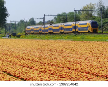Zuid Holland, the Netherlands - 24 April 2019: Dutch electric intercity train passing tulip flower fields