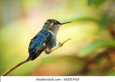 zunzuncito, smallest hummingbird on earth