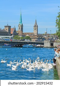 Zurich, Switzerland - 3 July, 2014: swans on Lake Zurich. Zurich is the largest city in Switzerland and the capital of the canton of Zurich.