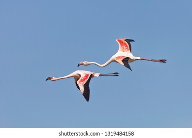 Zwergflamingo, Phoeniconaias minor, Phoenicopterus minor, Lesser Flamingo and Rosaflamingo, Phoenicopterus roseus,	Greater Flamingo